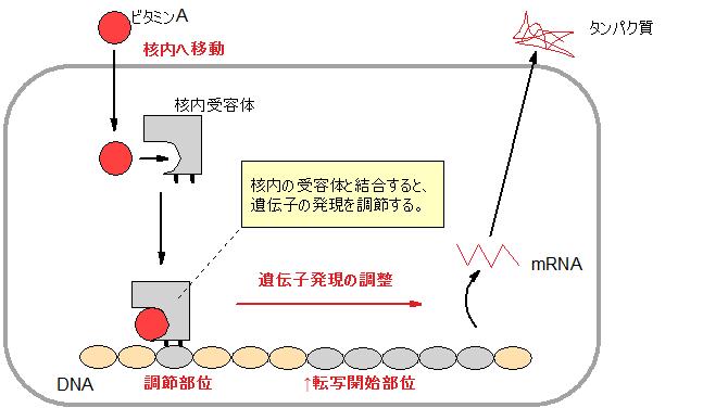 ビタミンAと核内受容体