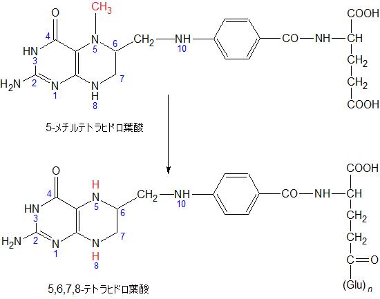 5-MethylTHF to 5,6,7,8-THF02